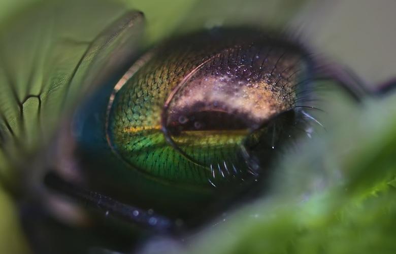 The back side of a fly  - iedereen bedankt voor de reacties op mijn vorige upload,laowa 25 mm macro lens 3,5 vergroting<br /> Mvg remco