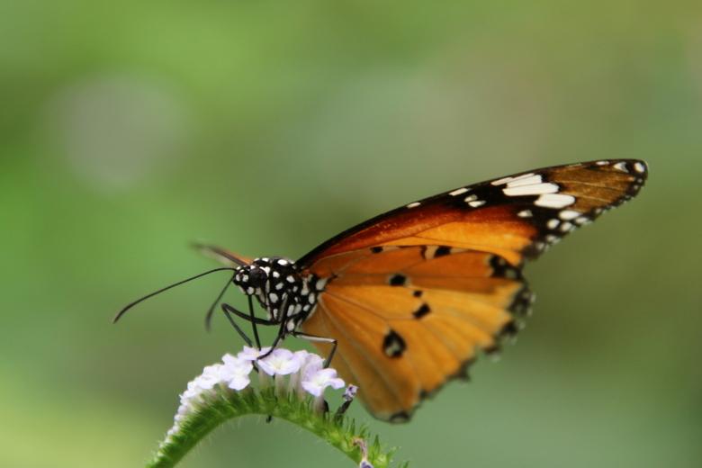 Kleine Monarchvlinder - Wat zijn ze toch mooi.<br /> <br />