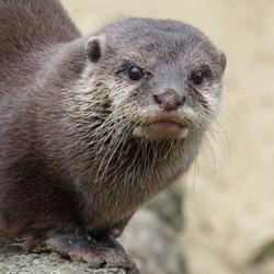 Ottertje