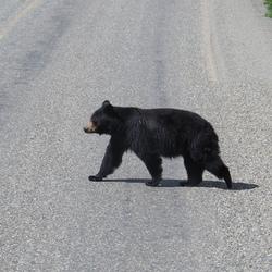 overstekend wild verkeer