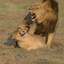 Paring Lions