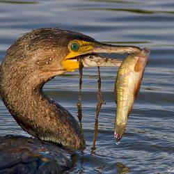 Menu van de dag door de Aalscholver: vis en groenten