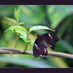 exotische vlinder