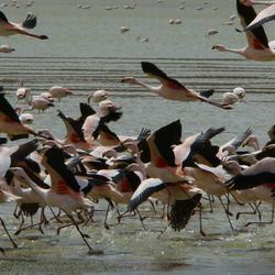 Flamingos op de vlucht