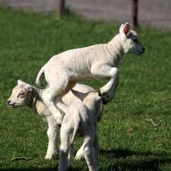 Lammetje springt bokje