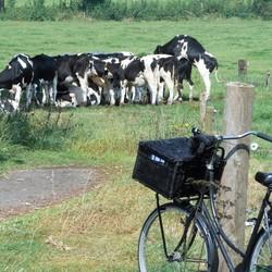 De opoefiets & de koeien.