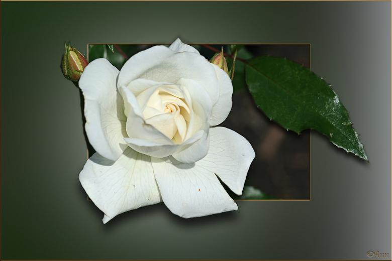 Een Roos..3 -