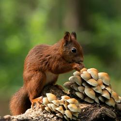 eekhoorn tussen de paddenstoelen