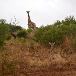 giraffe met jong