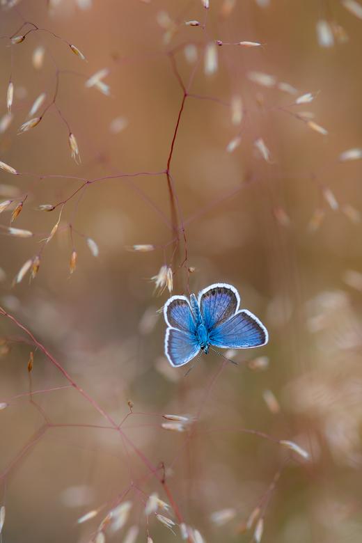 Heideblauwtje in het gras - Heideblauwtje die zijn vleugeltjes aan het opwarmen is in de vroege ochtend. kort daarna fladderde het al weer weg
