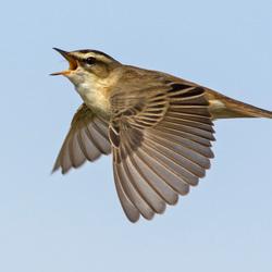 Sedge Warbler, Acrocephalus schoenobaenus, Rietzanger