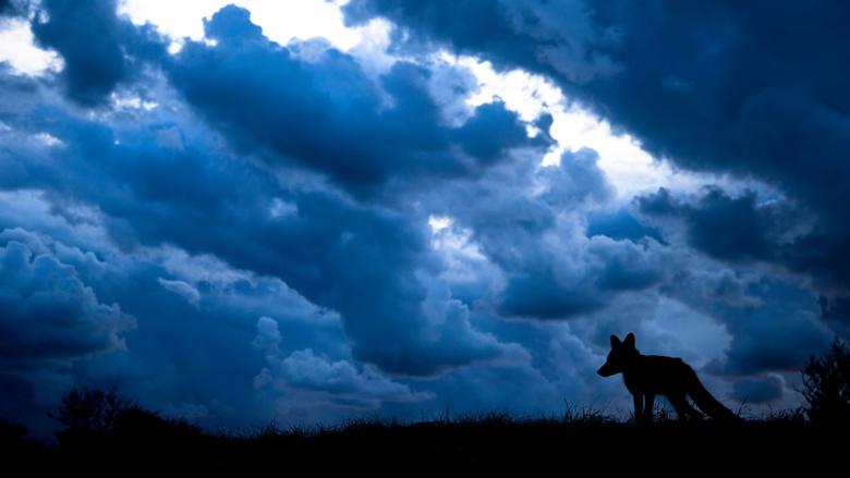 Vos met wolken. - silhouette van een vosje met een dreigende lucht.