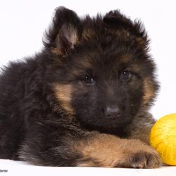 Duitse Herder pup - gele bal