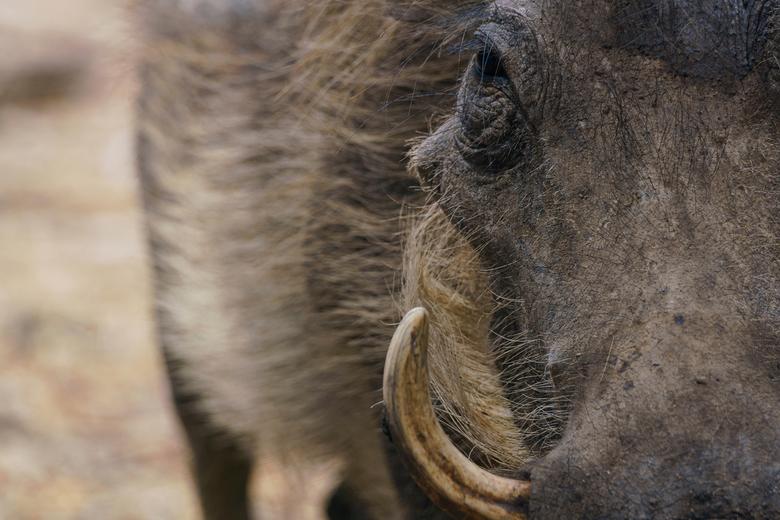 Pumba - Close up van een zwijn in Afrika. Deze foto gemaakt tijdens mijn reis vorig jaar.<br /> <br /> Wat minder op Zoom geweest door drukte