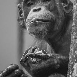 Chimpansee eet apennootje ( Doppinda's )