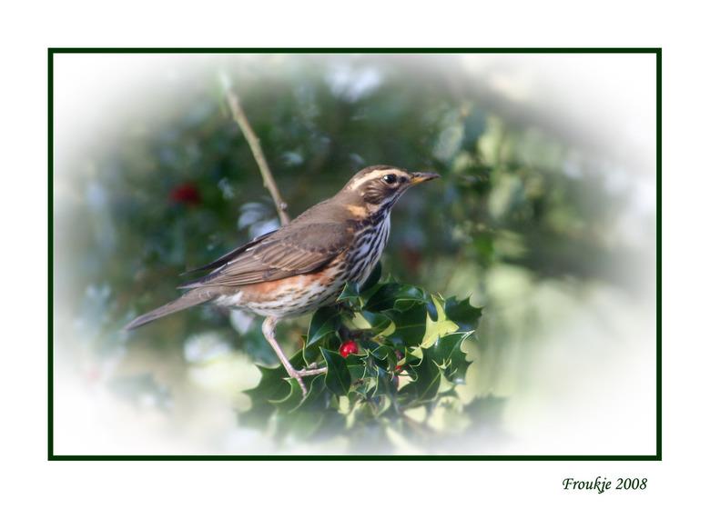 koperwiek - We hebben een grote hulstboom voor in de tuin,gisteren is hij leeg gehaald door een stuk of zes van deze vogels ,nog nooit eerder gebeurd