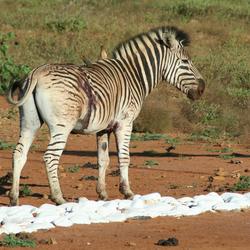 Gewonde zebra