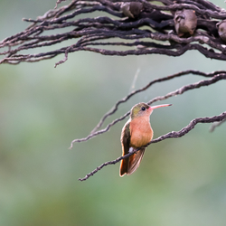 Cinnamon Hummingbird (Amazilia rutila)
