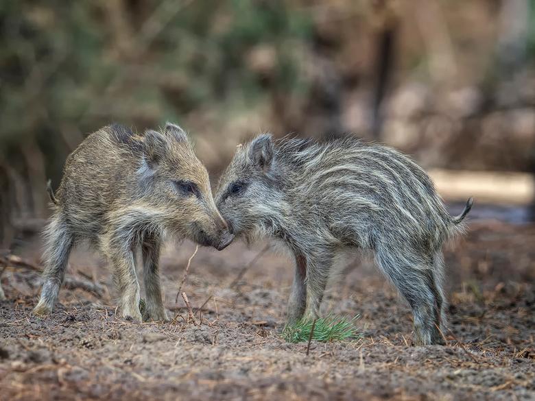 begroeten - 2 zwijntjes van verschillende moeders besnuffelen/begroeten elkaar!<br /> Foto gemaakt op Nationaal Park de Hoge Veluwe!