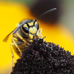 Wesp op Rubbeckia