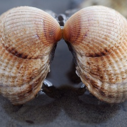 Kissing shell