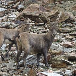 Steenbokkken in Italie Dello Stelvio park 3000 meter hoogte
