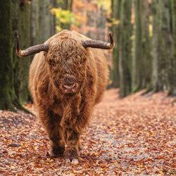 Highlander in Autumn