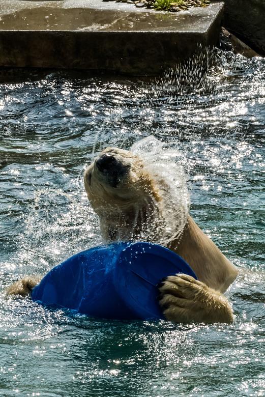 _DSC5950 1132 - Na een duik na een ton in het water schut de ijsbeer zijn kop