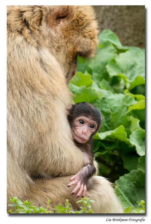 baby Berberaapje - Veilig vanuit moeder schoot bekijkt deze kleine Berberaap van 10 dagen oud de wereld om hem heen.<br /> <br />