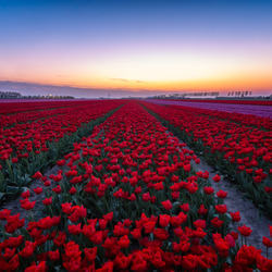 tulpen na zonsondergang