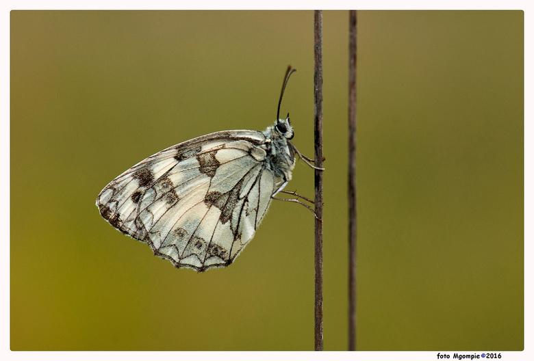 """Dambordje - Weer eens een echte vlindermacro. Al weer een tijdje geleden.<br /> <br /> Bedankt voor de reacties op <a href=""""http://zoom.nl/foto/arch"""