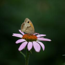 nog een vlinder