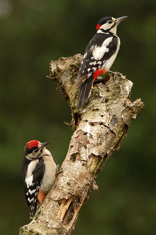 Father and son! - Dit mannetje Grote Bonte Specht werd gevolgd door een net uitgevlogen jong. Een pracht gezicht.<br /> <br /> Iedereen een fijn wee