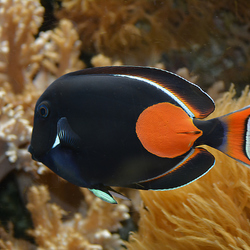 Kleurrijke Koraalvis
