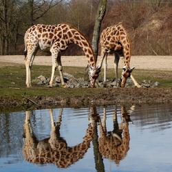 Giraffen - Spiegeling 2