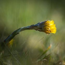 Het klein hoefblad (Tussilago farfara) bij zon opkomst