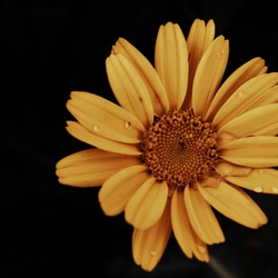 The yellow flower in the rain