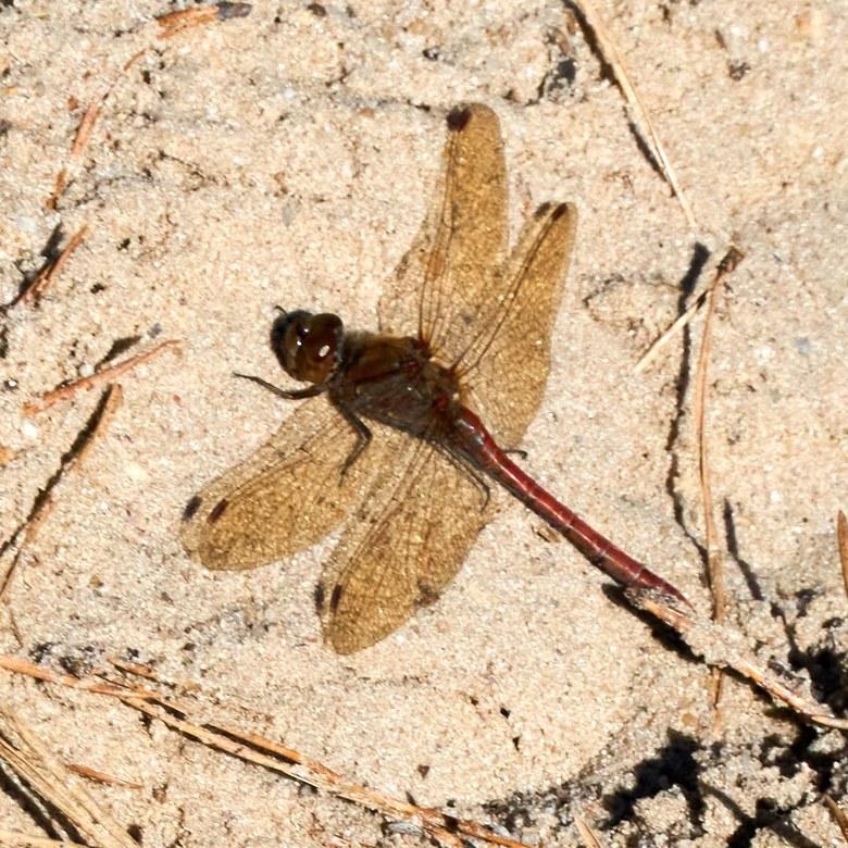 Libelle op het zand in de Hoge Veluwe -