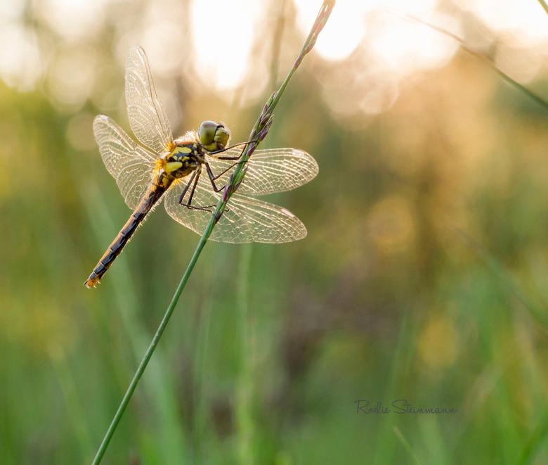 Libelle in het avondzonnetje - Tijdens ons uitstapje naar het natuurgebied het Leersumse veld zijn we ook deze prachtige libelle tegengekomen. En hoew