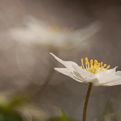 double wood anemone