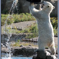 ijsbeerjong staand
