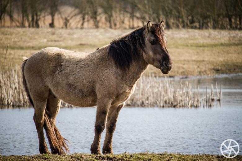 Konikspaard  - Aan de Oostvaardersplassen belanden we plotseling tussen een kudde Konikspaarden. Prachtig om mee te maken en in alle rust foto's