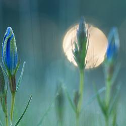 gentiaanblauw