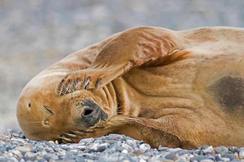 Grijze Zeehond Helgoland - Na twee dagen op het duin eiland bij Helgoland, loopt de harde schijf over van de beelden van de grijze zeehonden daar. Ze