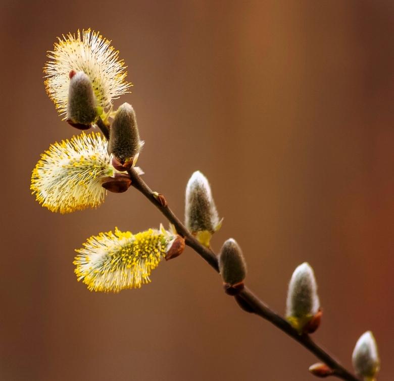 """Wilg - Wilgentakje, vorig jaar lente <br /> <br /> Heb em volgens mij al eens geplaatst op mijn oude account (<a href=""""http://pnco.zoom.nl"""">http://p"""
