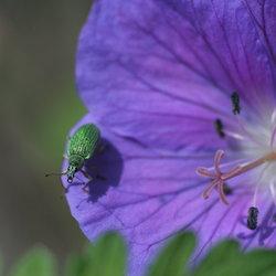 Phyllobius argentatus 2