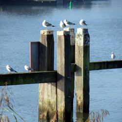 Meeuwen aan de Hollandse IJssel
