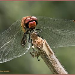Steenrode heidelibel (front opname)_DSC4170.