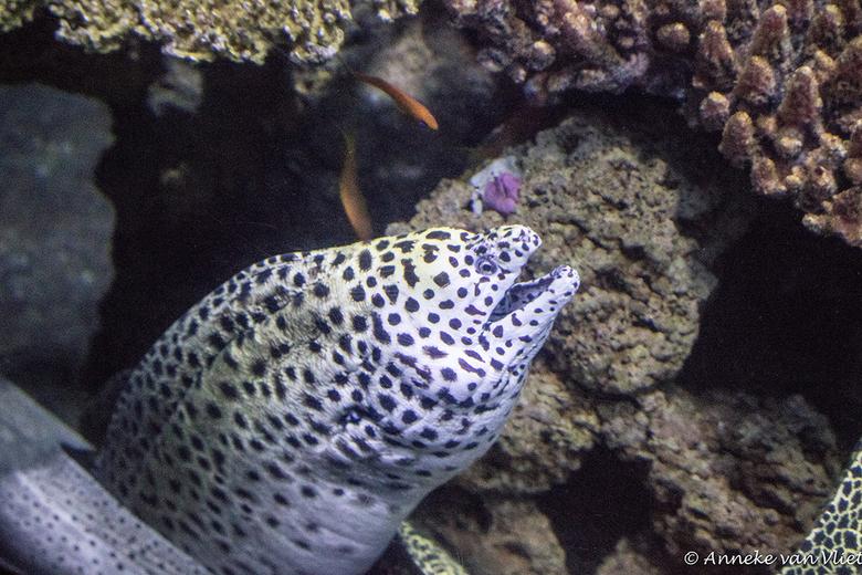 Murene (Muraenidae) - Murenen of moeralen vormen een familie straalvinnige vissen uit de orde van palingachtigen (Anguilliformes). Er zijn circa 200 s
