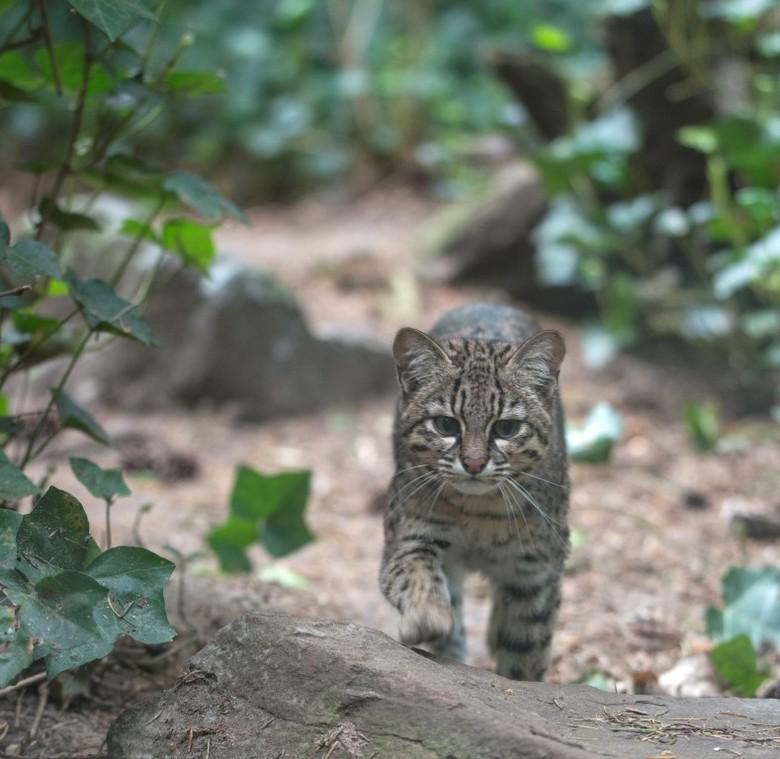 Geoffroy Kat - In Dierenpark Amersfoort heeft men een Geoffroy Kat. Veelal als je langs dit verblijf loopt zie je niets. Het vergt geduld om dit dier